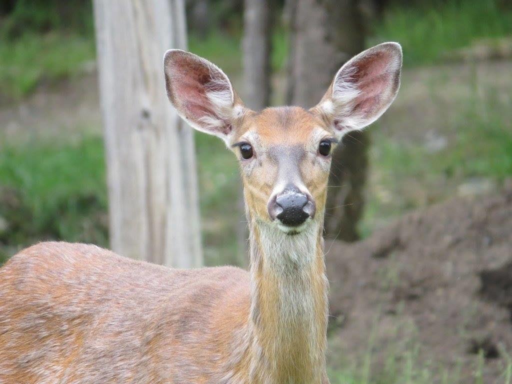 deer-tomhegan