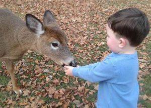 Toddler feeding a fawn