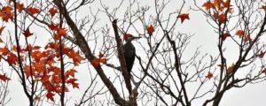 TEM_woodpecker