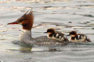 merganser:chicks