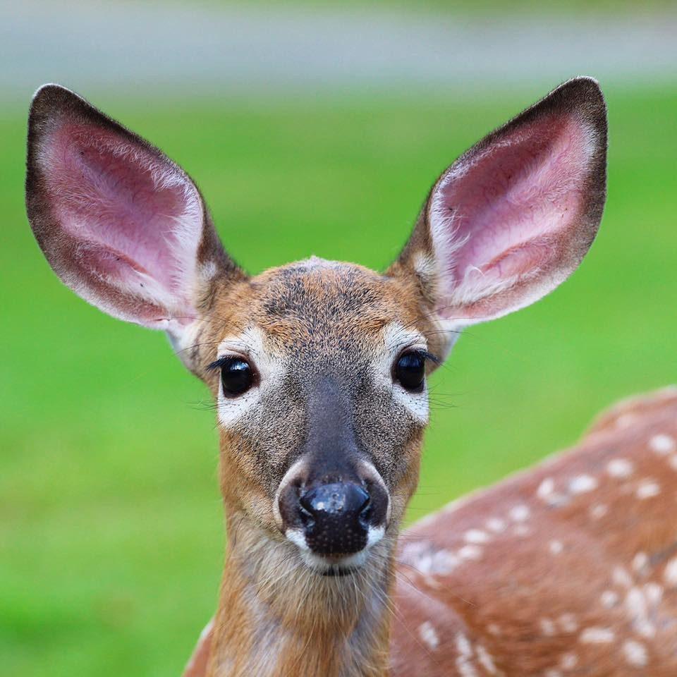 How Often Do Moose Shed Their Antlers How Often Do Deer