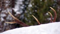 Shed Hunting: Finding Moose and Deer Antlers